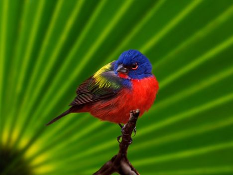 Male_Painted_Bunting,_Everglades_National_Park,_Florida