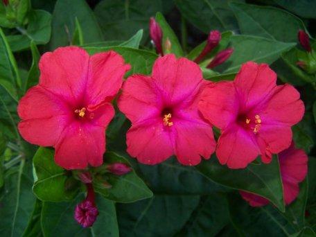 estike tölcsér virág