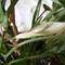 Aglaonema virágja