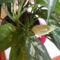 Aglaonema virágzik