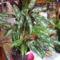 Aglaonema+viaszvirág