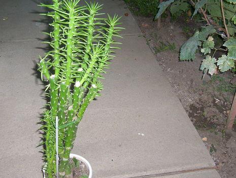 kaktusz mert tüskés