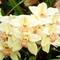 Orchidea 7