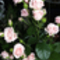 Rózsa 5