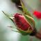 Rózsabimbó 3
