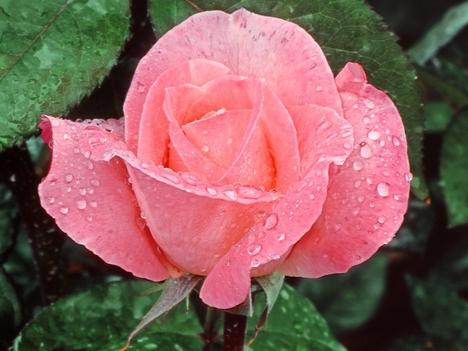 Rózsaszál 2