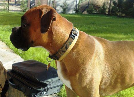 Boxer profil