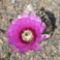 Echinocereus reichenbachii virág