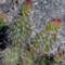 Opuntia  polyacantha var. ursina