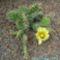 Opuntia phaeacantha cv albispinum