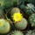 Subi kaktuszai