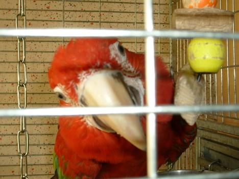 Dezső a hím zöldszárnyú ara papagáj