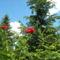 Rózsa - Virágok közt 505