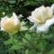 Rózsa - Virágok közt 525