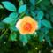 Rózsáim.--Hajni 1