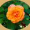 Rózsáim.--Hajni 2