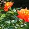Rózsáim.--Hajni 3