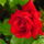 Sz.É... Rózsáim...