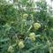 2009-09-12 őszi termések 008