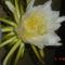 éj királynöje kaktusz