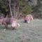 Pásztorkutyák