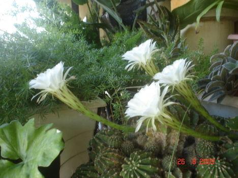 sünkaktusz és a virága