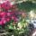 Rhododendron_majusi_viragzasa_5_eve_mindig_tomvetelt_viragokkal_iden_76_viraggal_373081_97464_t