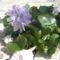 Virágzik a trópusi vizijácint!!!!!!!!!!!!!!