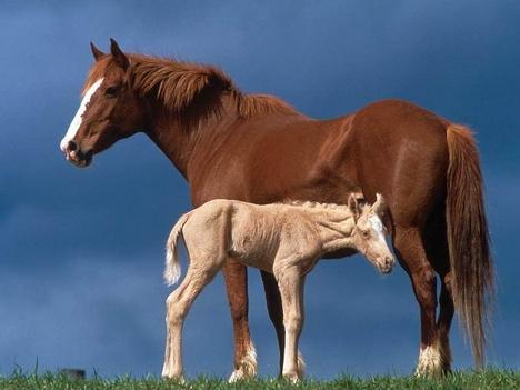 hasznos állatok  a lovak a kicsi még gyengécske