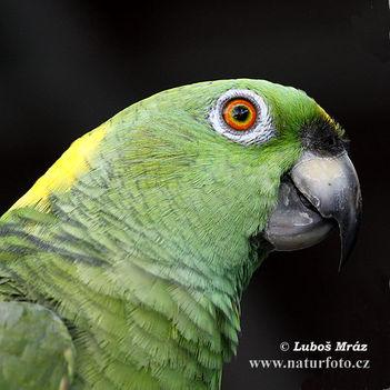 amazona-auropalliata