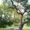 Egy kacskaringós fa