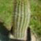 Echinocereus
