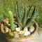Haworthia, és Cereus