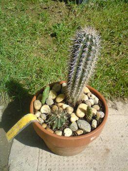 kaktusztál