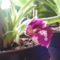 Miltonia orchidea tövéröl hozott virággal közelről / harmadjára virágzik