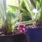 Miltonia orchihea töviröl hozott virággal távolról / harmadjára virágzik/