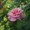 A harmatos rózsa