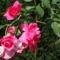 A kúszó rózsaszín