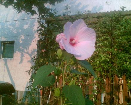 csodálatos rózsaszín