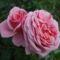 Illatos rózsák