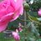 Kúszó lilás-rózsaszín