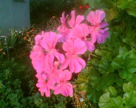 muskátli rózsaszín