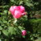 """""""Ő"""" az én rózsám"""