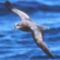 Petrel_great-wing-jso-mb