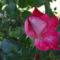 A különleges színű rózsám