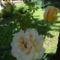 A legszebb rózsám, mögötte a fénylő napsütés