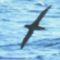 Albatross_shortt-rlp
