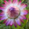 Szalmavirág