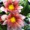 Rózsaszín napvirágok