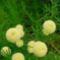 zöld cipruska